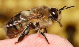 Científicos entrenan abejas para detectar COVID-19